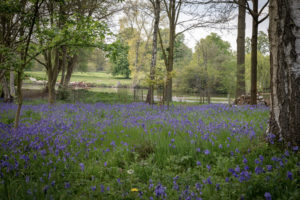 Bluebells in Market Bosworth Country Park with the pool in the background